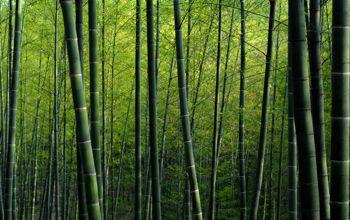 bamboes.jpg